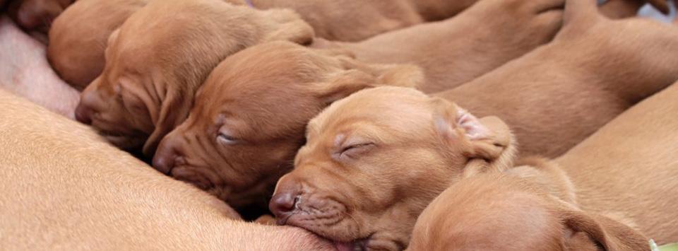 Pups drinken bij teef - progesterontest bij fertiliteitskliniek